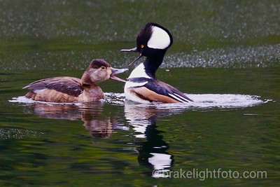 Ring-Neck Duck & Hooded Merganser