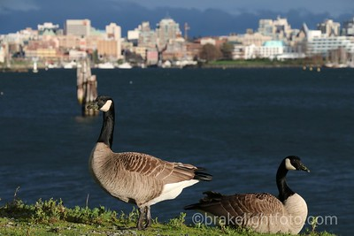 Canada Geese in the City