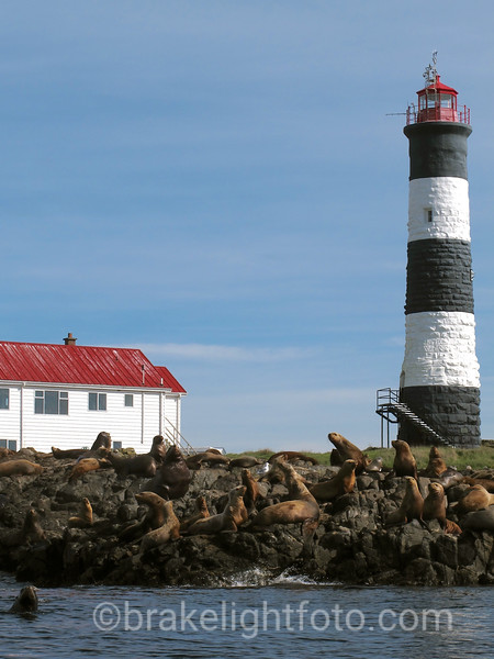 Sea Lions at Race Rocks Ecological Reserve