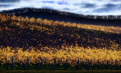 Balgownie vineyard, Yarra Valley: the tree-line is an ominous reminder of the 2009 bushfires