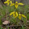 Diuris chryseopsis - Ararat