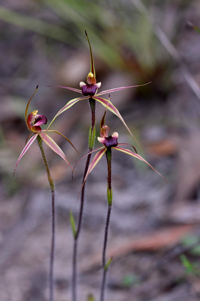 Caladenia clavigera - Anglesea