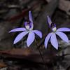 Caladenia caerulea - Brisbane Ranges National Park