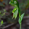 Pterostylis smaragdyna - Brisbane Ranges National Park