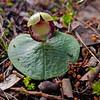 Corybas diemenicus - Mt Difficult