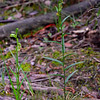 Pterostylis smaragdyna - Maldon