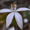Caladenia moschata<br /> Union Jack