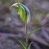 Pterostylis robusta - Melton West