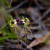 Caladenia tentacula<br /> Steiglitz