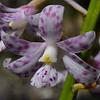 Dipodium pardalinum<br /> Creswick