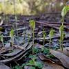 Pterostylis nana - Long Forest