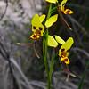 Diuris sulphurea<br /> Enfield State Park