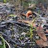 Pterostylis arbusculus - Mt Difficult
