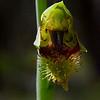 Calochilus campestris<br /> Union Jack
