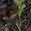 Pterostylis smaragdyna - Steiglitz