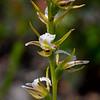 Prasophyllum sp.<br /> Anglesea