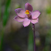 Thelymitra carnea<br /> Mt. Beckwith