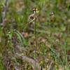 Caladenia tentacula<br /> Mt. Beckwith