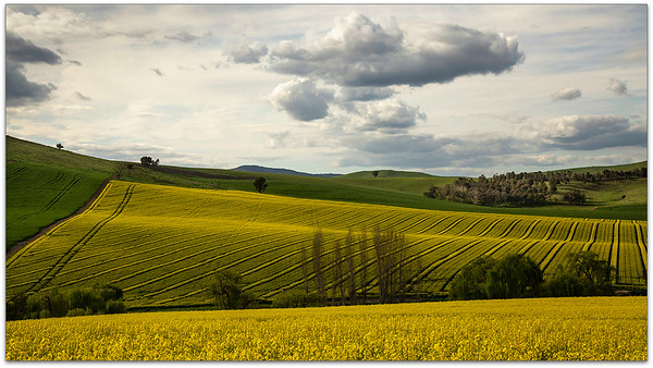 Rows of canola