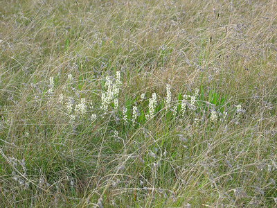 Stackhousia monogyna / Creamy Stackhousia amongst Themeda