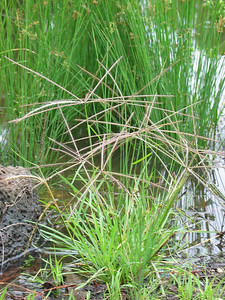 Chloris trucata / Windmill Grass