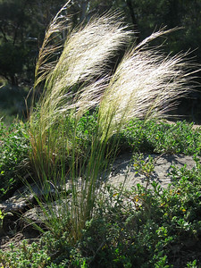 Austrostipa scabra / Spear-grass