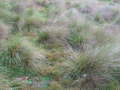 Microleana stipoides / Weeping Grass  Amongst Poa labillardierei