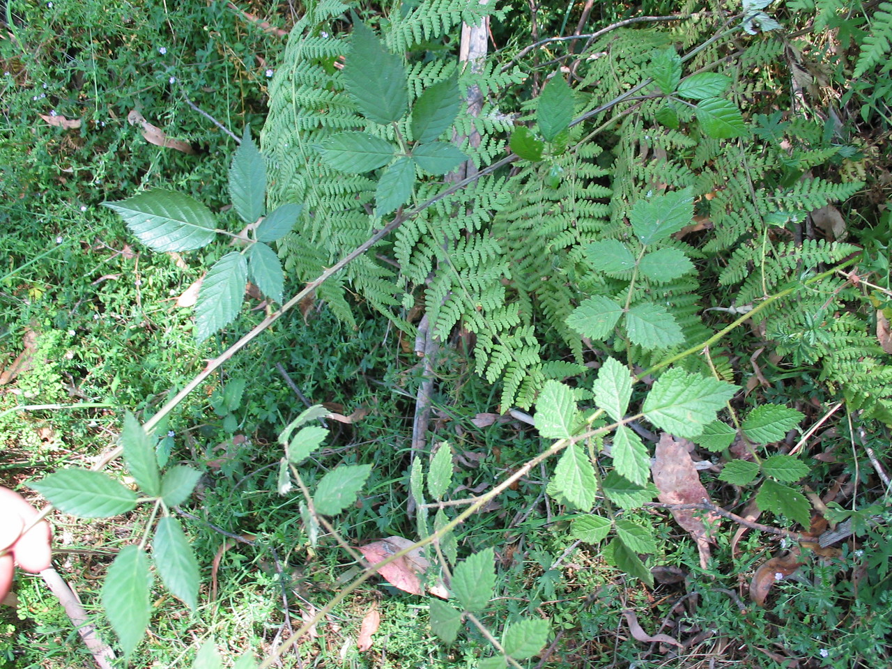 Rubus parvifolius (Right) Introduced Blackberry (Left)