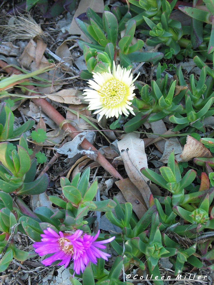 Carpobrotus -<br /> *Introduced Carpobrotus edula<br /> <br /> Flowers change from pale yellow to pink as they age - this plant often incorrectly sold as C.rossii and may be cross- breeding with C.rossii.