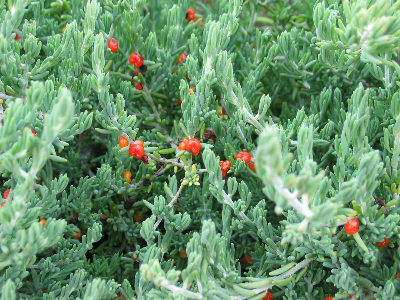 Enchyleana tomentosa var. tomentosa / Ruby Saltbush #