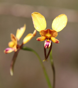 Diuris orinetis Wallflower Orchid