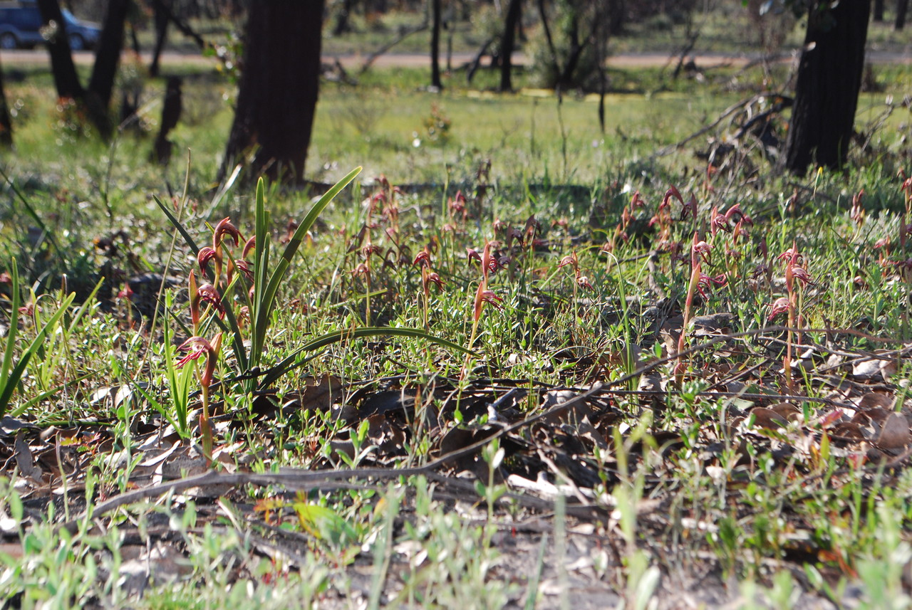 Pyrorchis nigricans - Red Beaks, Undertaker Orchid - Grampians
