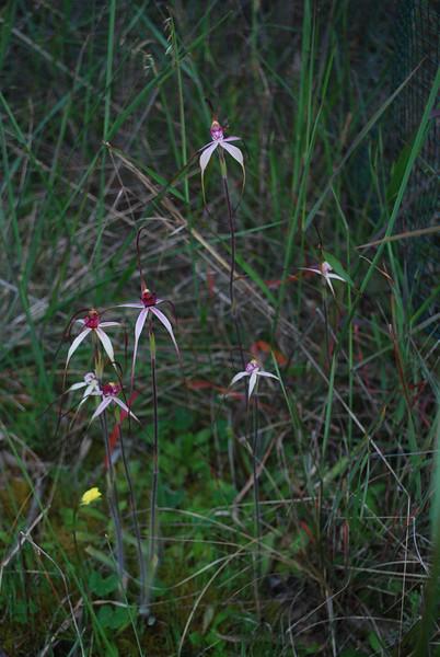 Caladenia - Inverleigh