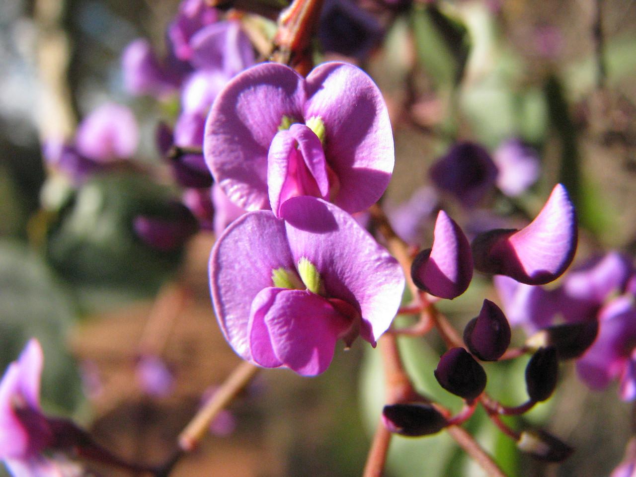 Hardenbergia violaceae / False Sarsparilla  Climber / Scrambler with showy purple flowers Nov - Jul