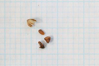 Plantago, gaudichaudiana - Seed