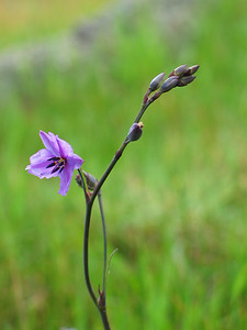 Arthropodium strictum / Chocolate-lily Grass-like tufted perennial herb (20cm to 1m), flowering Sep to Dec