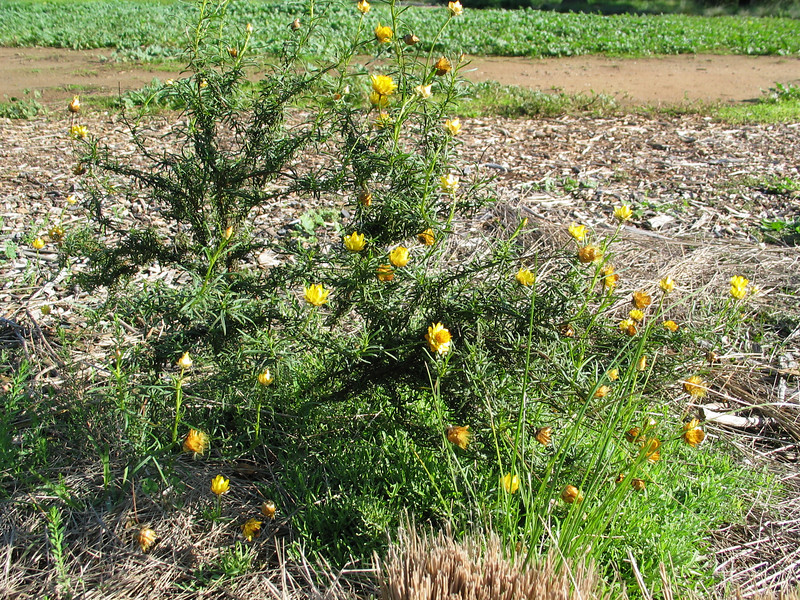 Bracteantha viscosa / Sticky Everlaqsting  Erect perennial or annual herb (60cm)