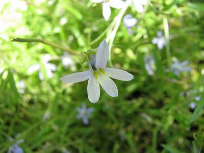 Lobelia pratiodes / Poison Lobelia / Tall Lobelia