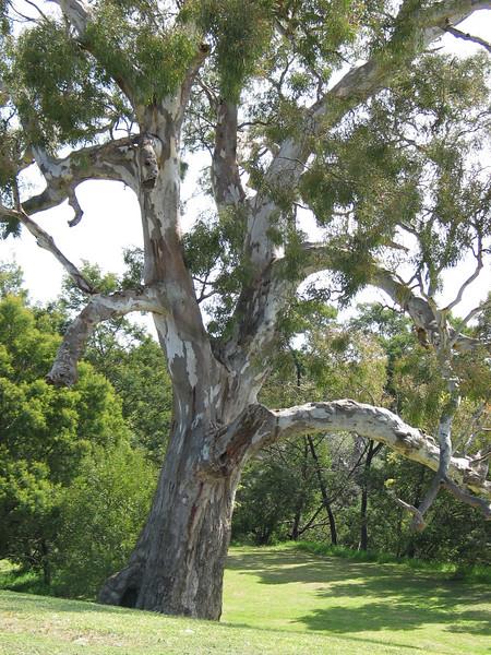 Eucalyptus camaldulensis / River Red-gum
