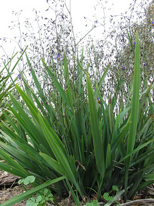 Dianella revoluta / Black-anther Flax-lily