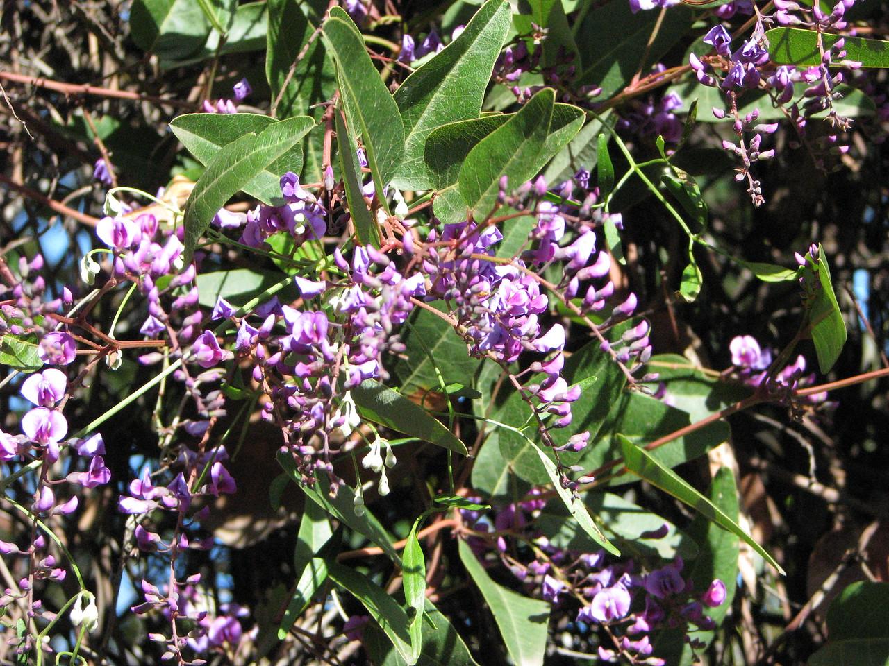Hardenbergia violaceae / False Sarsparilla