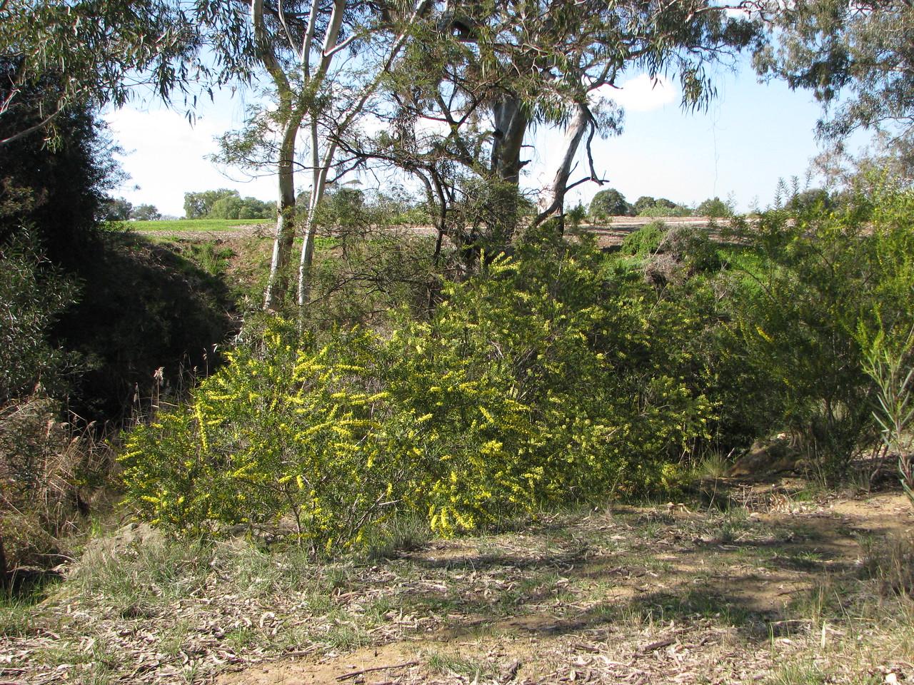 Acacia rostriformis (was included in A. verniciflua) - form