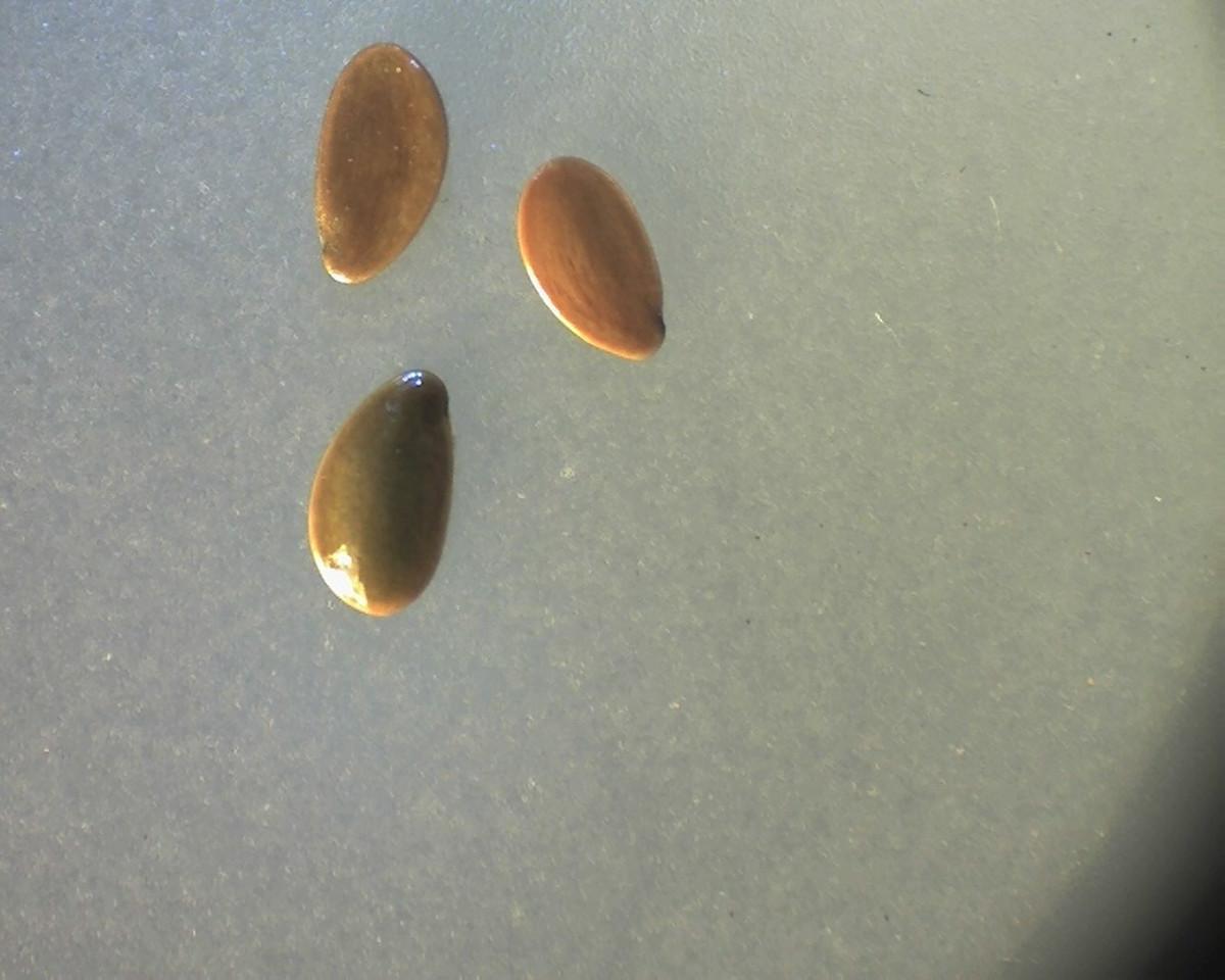 Linum marginale - Flax