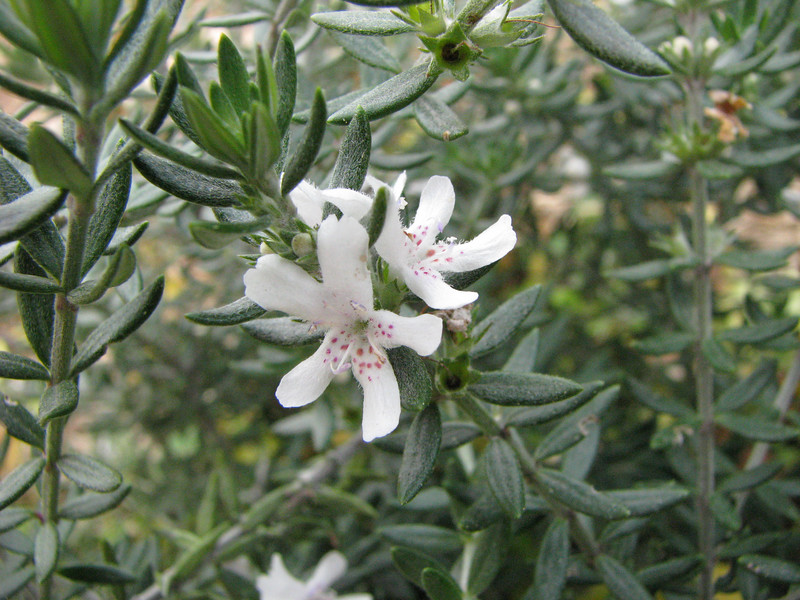 Westringia fruticosa / Coast Rosemary  Shrub (to 1.5m) from NSW, flowering throughout the year.