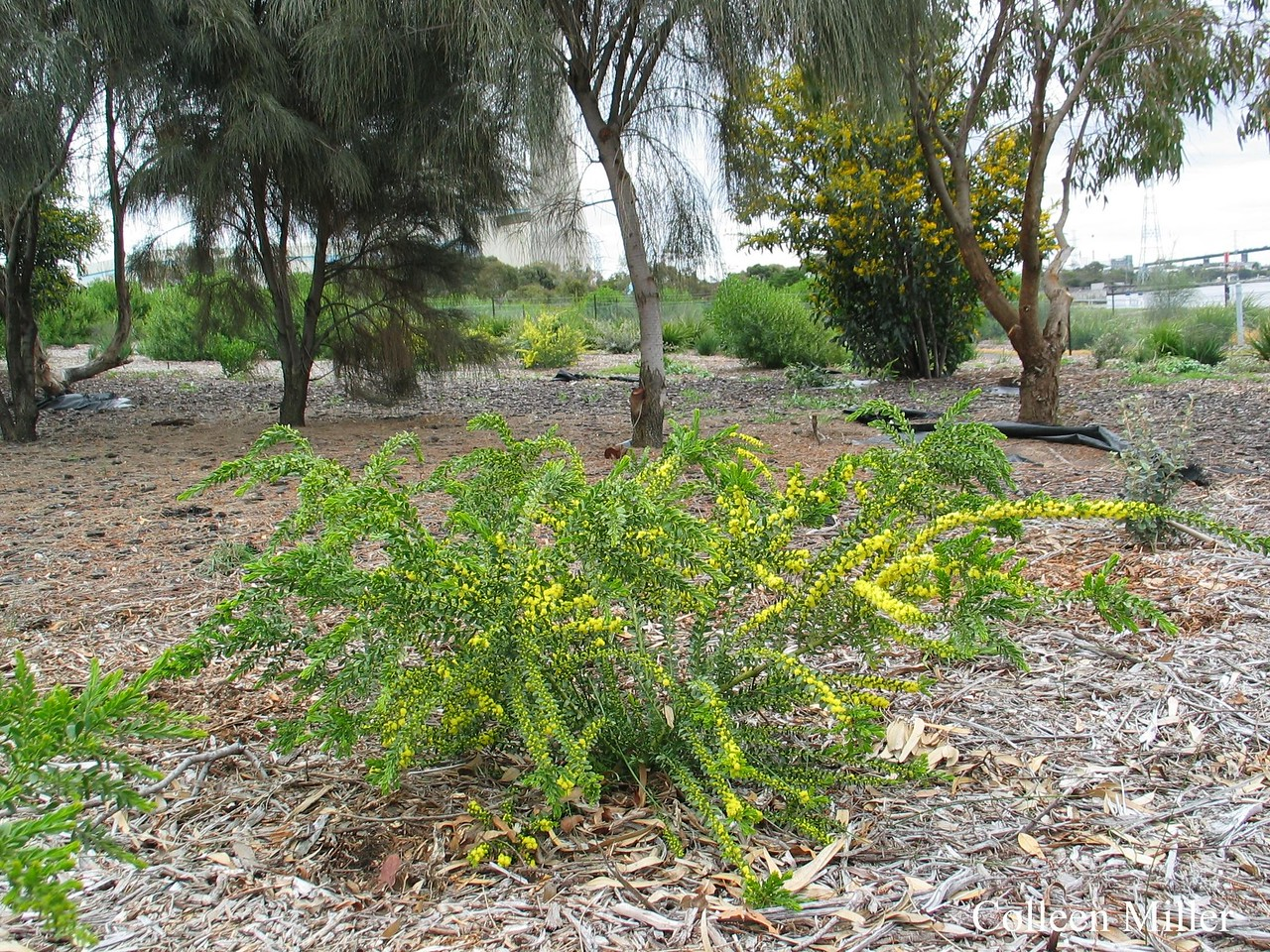 Acacia acinacea / Gold Dust Wattle  Shrub (2.5m), flowering Sep to Nov BrimbankIndigSp