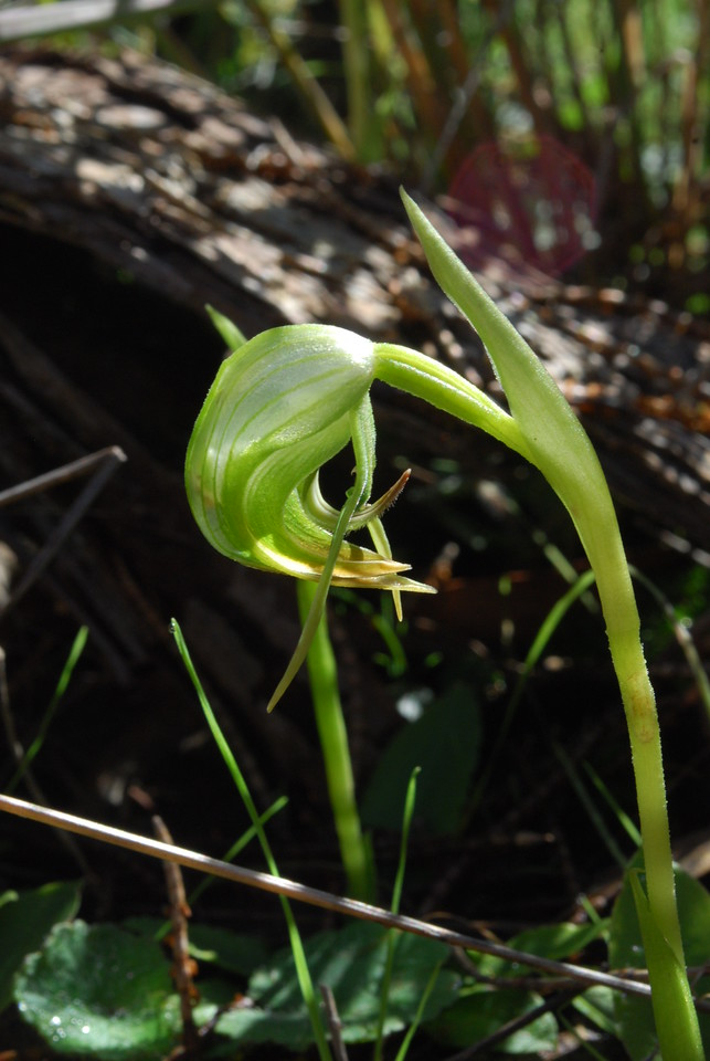 Pterostylus nutans - Nodding Greenhood