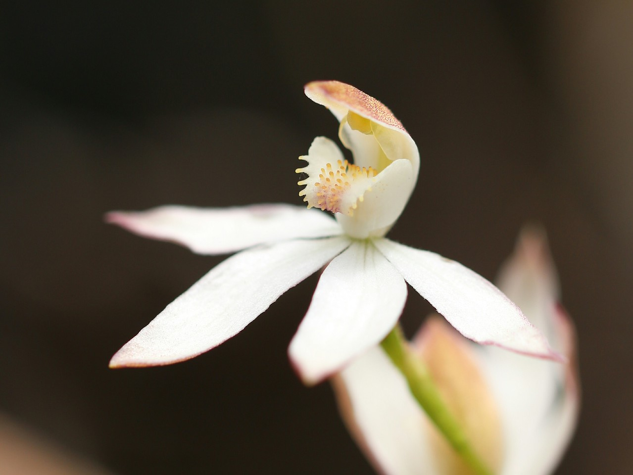 Caladenia sp ? Bungal State Forest - The Little Forest