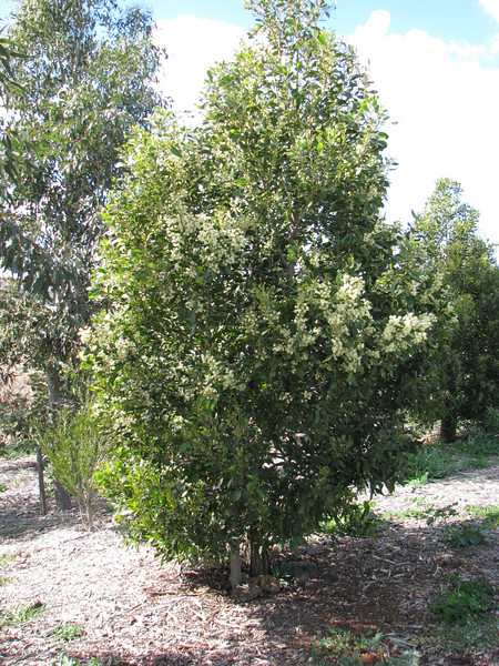 Acacia melanoxylon / Blackwood