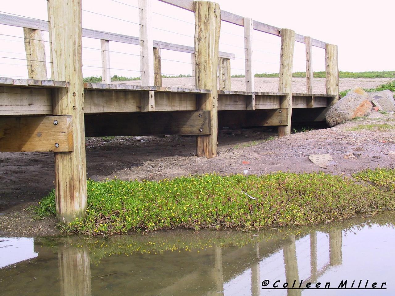 Cotula coronopifolia - Water Buttons