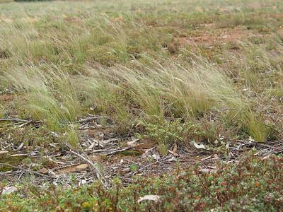 Austrostipa scabra / Rough Spear-grass